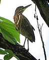 Butorides virescens Garcita verde Green Heron (15400882307).jpg