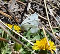 Butterfly Mammoth Lakes (20140420-0167).JPG