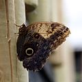 Butterfly at Chester Zoo 13.jpg