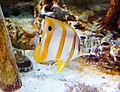 Butterfly fish - panoramio.jpg