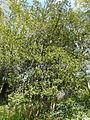 Buxus balearica - antic jardí botànic P1250803.jpg