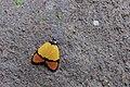 Byrsia aurantiaca psed (26990029348).jpg