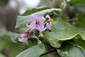 CBN Solanum vespertilio doramae 2015-07-01 CP 3.jpg