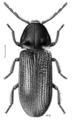 COLE Anobiidae Hadrobregmus magnus.png