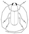 COLE Anthribidae Euciodes suturalis m2.png