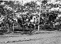 COLLECTIE TROPENMUSEUM Jonge djati-ronggo-hybride cacaobomen onder de schaduw van het gewas caesalpinia dasyrbachis TMnr 10012229.jpg