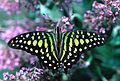 CSIRO ScienceImage 994 Graphium agamemnon Papilionidae.jpg