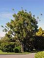 Cabbage Tree, Bushy Park, Wanganui, New Zealand, 22 April 2006.jpg
