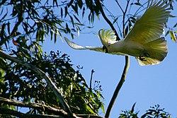 Un cacatoès à huppe jaune, volant dans un eucalyptus, à Sydney, en Australie
