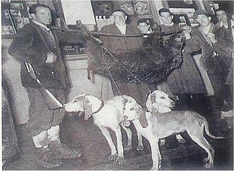 Sabueso Español - Boar hunting in Cantabria. Year 1952.