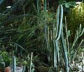 Cacti at The Desert House.JPG