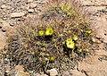 Cactus en flor 1.jpg