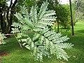 Caesalpinia echinata - Jardim Botânico de São Paulo - IMG 0349.jpg
