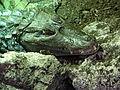 Caiman crocodilus - Vivarium de Meyrin 01.JPG
