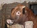 Calf in a barn 2019 G1.jpg