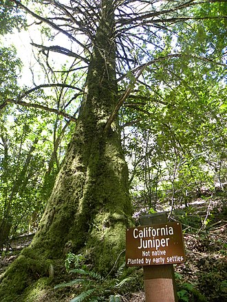 Uvas Canyon County Park - Image: California juniper in uvas canyon