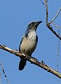 California scrub jay, Aphelocoma californica, along the Guadalupe River in Santa Clara, California, USA (30838589312).jpg