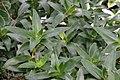 Callisia fragrans 13zz.jpg