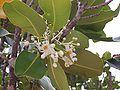 Callophyllum inophyllum.JPG