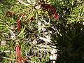 Calothamnus hirsutus (young fruits).JPG