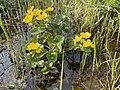 Caltha palustris Marsh-marigold kingcup (bekkeblom soleihov) wetland brook (våtmark bekk) Pirane, Hvasser, Oslofjorden, Norway 2021-05-14 IMG 9883.jpg