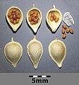 Camelina microcarpa subsp. silvestris sl4.jpg