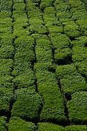Cameron highlands tea 2.jpg