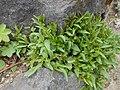 Campanula rotundifolia 2017-04-20 8422.jpg