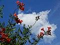 Campsis grandiflora, 3.jpg