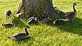 Canada Geese (Branta canadensis) - Guelph, Ontario 2019-06-08 (01).jpg