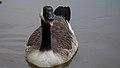 Canada Goose (5294279534).jpg