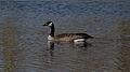 Canada Goose (Branta canadensis) - London, Ontario 01.jpg