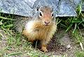 Canadian Squirrel (7629711782).jpg
