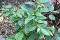 Cananga odorata var. fruticosa 2zz.jpg