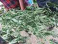 Cannabis sativa on way from Govindghat to Rishikesh at Valley of Flowers National Park - during LGFC - VOF 2019 (10).jpg