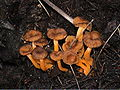 Cantharellus lutescens.jpg