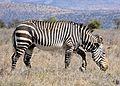 Cape Mountain Zebra (Equus zebra zebra) (31707282834).jpg