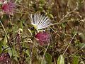 Capparis zeylanica (3031058523).jpg