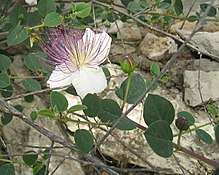 刺山柑 (Capparis spinosa)