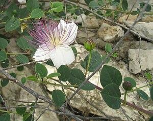 Ezov - Caper plant