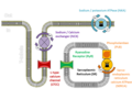 Cardiac calcium cycling and excitation-contraction coupling.png