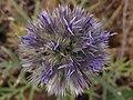 Cardo yesquero - Echinops strigosus (7459819142).jpg