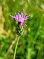 Carduus argentatus in Israel.jpg