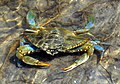 Care Banks - Blue Crab - 06.JPG