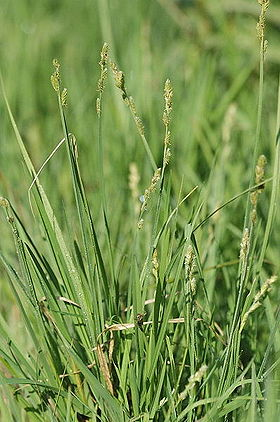 Carex.curta.2.jpg