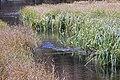 Carex aquatilis plant (13).jpg