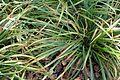 Carex gracillima kz1.jpg