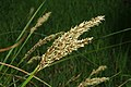 Carex paniculata inflorescens (18).jpg