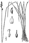 Carex sterilis drawing 1.png