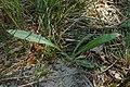 Carlina vulgaris kz03.jpg